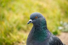 Free Pigeon Stock Photo - 25412200