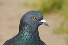Free Pigeon Royalty Free Stock Photos - 25412218
