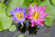 Free Bee On A Purple And Pink Lotus. Royalty Free Stock Images - 25418149