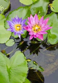 Free Bee On A Purple And Pink Lotus. Royalty Free Stock Photography - 25418347
