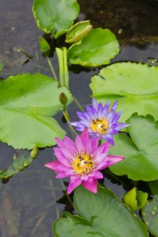 Free Bee On A Purple And Pink Lotus. Royalty Free Stock Photo - 25418755