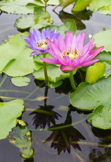 Free Lotus With Reflection And Insects. Stock Photography - 25418812