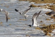 Free Seaweed And Seagulls At The Beach Royalty Free Stock Images - 25418859