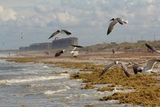 Free Seaweed And Seagulls On The Shore Stock Images - 25418894