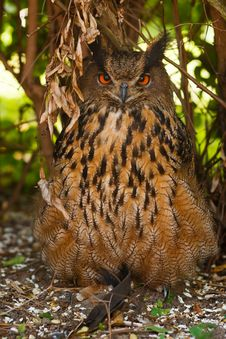 Free Eagle Owl Royalty Free Stock Image - 25419846
