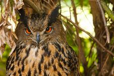 Free Eagle Owl Stock Image - 25419921