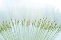 Free Dandelion Seeds Stock Photography - 25421892