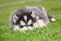 Free Husky Puppy Royalty Free Stock Images - 25424769