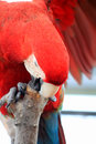 Free Parrot Royalty Free Stock Photos - 25429098
