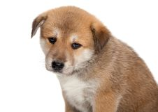 Sad Puppy Royalty Free Stock Image