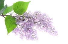 Free Lilac Royalty Free Stock Photos - 25422268