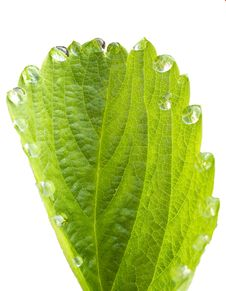 Free Green Leaf With Dewdrops Royalty Free Stock Photo - 25422405