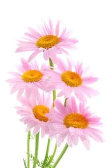 Free Daisy Stock Photo - 25422470