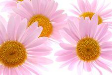 Free Daisy Royalty Free Stock Image - 25422576