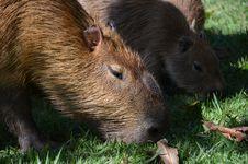 Free Capybara Stock Images - 25425114