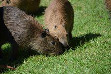 Baby Capybara Royalty Free Stock Image
