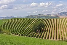Free Italian Vineyard Royalty Free Stock Images - 25429799