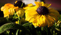 Free Black Eyed Susan Stock Photos - 25432153