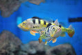Free Fish In Aquarium Royalty Free Stock Images - 25436229