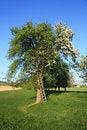 Free Apple Tree Stock Photos - 25436723
