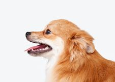 Pomeranian Puppy Royalty Free Stock Photography