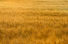 Free Wheat Field Royalty Free Stock Photos - 25431948