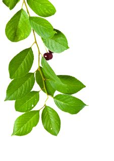 Free Branch Of Cherry It Is Isolated Stock Photography - 25432272