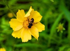 Free Bee On A Yellow Flower Royalty Free Stock Photo - 25432945