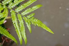 Free Green Fern Leaves Royalty Free Stock Image - 25435146
