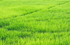 Green Rice Fields Royalty Free Stock Photos