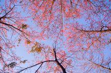 Free Wild Himalayan Cherry Stock Photos - 25435803