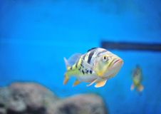 Free Fish In Aquarium Royalty Free Stock Images - 25436169
