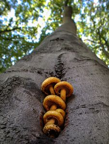 Free Mushrooms On A Tree Stock Photos - 25437043