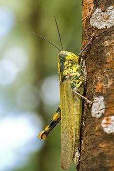 Free Grasshopper On A Tree Royalty Free Stock Photo - 25438905