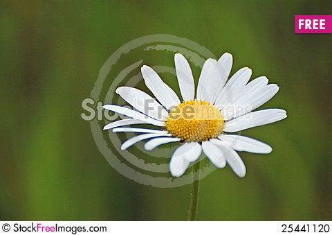 Free Daisy Flower Stock Photo - 25441120