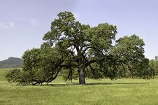 Free Mature Oak In Pope Valley Royalty Free Stock Photos - 25443918