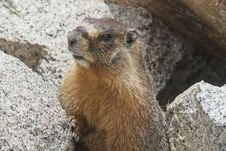 Free High Sierra Marmot Stock Photos - 25444263