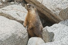 Free High Sierra Marmot Stock Image - 25444271