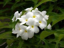 Free White Plumeria Stock Image - 25446101