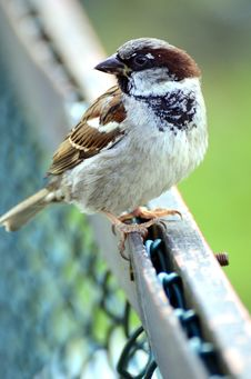 Free House Sparrow Royalty Free Stock Photos - 25448058