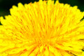 Free Dandelion Flower Royalty Free Stock Photo - 25450335