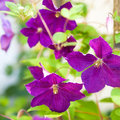 Free Clematis Stock Images - 25452034