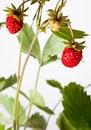 Free Wild Srawberry Royalty Free Stock Photo - 25452185