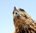 Free Eagle Head Royalty Free Stock Photos - 25452528