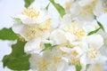 Free Jasmine Flowers Royalty Free Stock Photos - 25457008