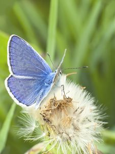 Free Blue Butterfly On A Dandelion Stock Image - 25450081