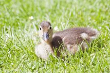 Free Duckling Mandarin Duck Royalty Free Stock Photos - 25450118