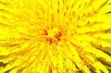 Free Dandelion Flower Royalty Free Stock Photo - 25450255