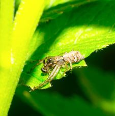 Lunch Of Crab Spiders Stock Photo