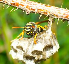 Free Wasp Royalty Free Stock Photo - 25451455